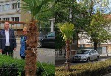 Пальмы украсят центр Поморие