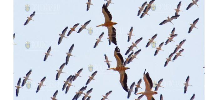 Пеликаны летят над Варной