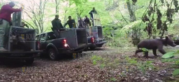 в Болгарии выпустили трех медвежат
