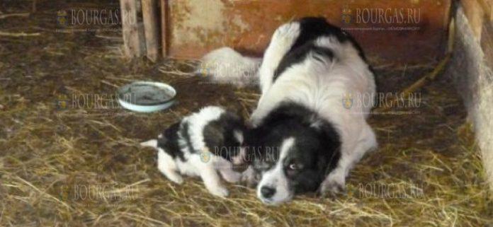 болгарская овчарка пастух