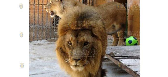 Лев Симба из зоопарка Варны