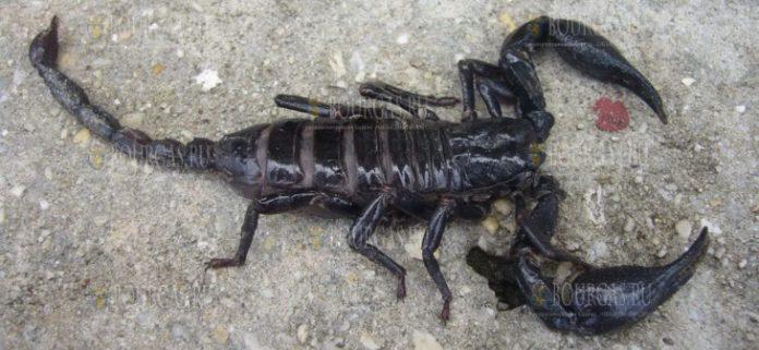 Черные скорпионы появились в Бургасе