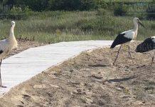 Три аиста отдыхают вместе с туристами на пляже на Крайморие