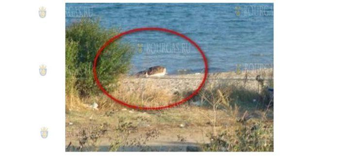Трупы коров появились в море под Ахтополем и Обзором