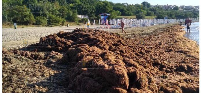 Тонны водорослей выбрасывает море в районе Сарафово