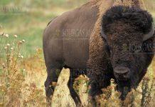 Бизоны вернулись в болгарские Родопы