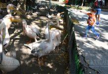 Варненский зоопарк отмечает Всемирный день пеликанов