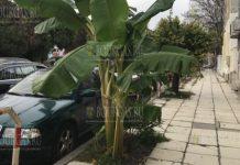 Огромная банановая пальма растет неподалеку от центра Варны
