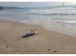 Труп маленького дельфина появляется на центральном пляже в Варне