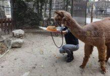 В Варне отметили день рождения альпаки