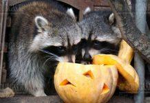жителей зоопарка в Варне кормили тыквами