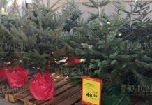 Живые елки класса люкс продаются в Бургасе
