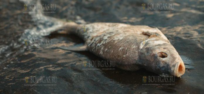 В реке Марица на Юге Болгарии снова появилась мертвая рыба
