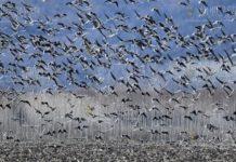 В Варне считают зимующих водоплавающих птиц