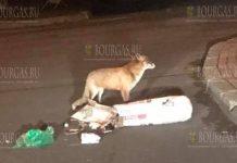 Лиса ищет пищу на улицах Несебра