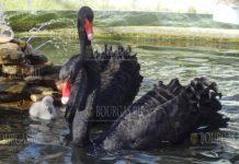 У лебедей в зоопарке Варна впервые появилось потомство