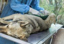 В Пернике пройдет бесплатная кампания кастрации собак