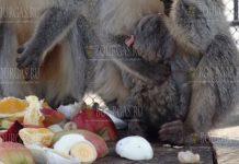 В зоопарке Варны родилась маленькая обезьянка
