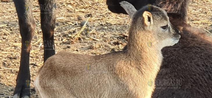молодой муфлон, родившийся в зоопарке Бургаса