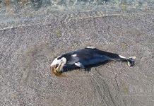 Море выбросило мертвого дельфина на пляж в Поморие