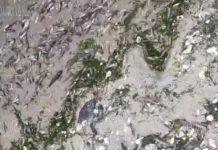В Варненском озере снова появилась мертвая рыба