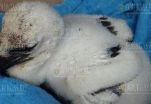 спасли птенца аиста