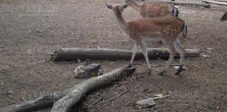 В Варненском зоопарке появились на свет два олененка