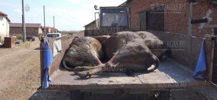 28 коров погибли в Болгарии после водопоя, который прошел на реке Марица