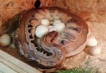 Питон на выставке Snake House в Бургасе отложила сразу 15 яиц