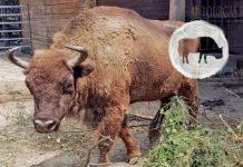 В зоопарке Добрича появилась пара зубров