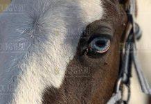 Голубоглазая лошадь в зоопарке Бургаса будет носить имя болгарской царицы