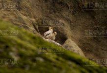 Пара стервятников гнездится в Северной Болгарии