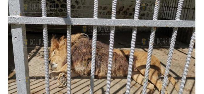 В Кюстендиле местные жители выступили в защиту льва