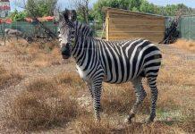 зоопарк Бургаса - Зебра