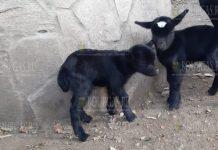 Козлятам в зоопарке Варны выбрали имена
