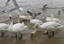 лебеди на пляже в Варне