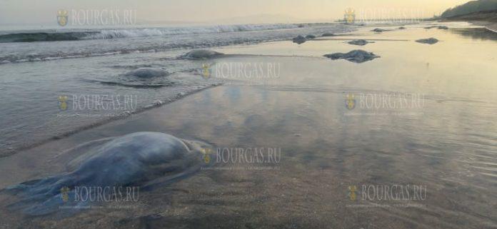 медузы на пляжах в Бургасе