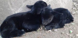 В зоопарке Варны появились двое камерунских козлят