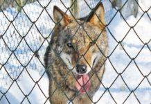 из зоопарка в Хасково убежал волк