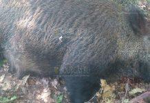 В Болгарии браконьеры убили нескольких беременных свиней