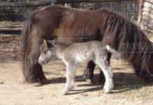 В зоопарке Варны родился первый детеныш в 2021 году, им стал самец шотландского пони