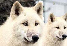 В зоопарке Бургаса отметили день рождения полярных волков