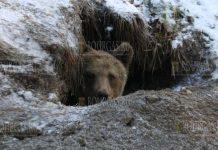 бурый медведь в Родопах Болгарии
