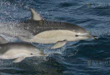 Дельфины в Болгарии