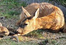 в зоопарке Бургаса появились на свет оленята