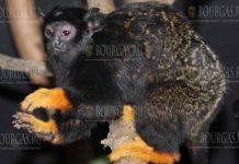 Златорукие тамарины в зоопарке Софии
