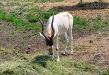 антилопа адакс в зоопарке Бургаса