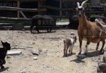 Зоопарк Варны - два камерунских козленка