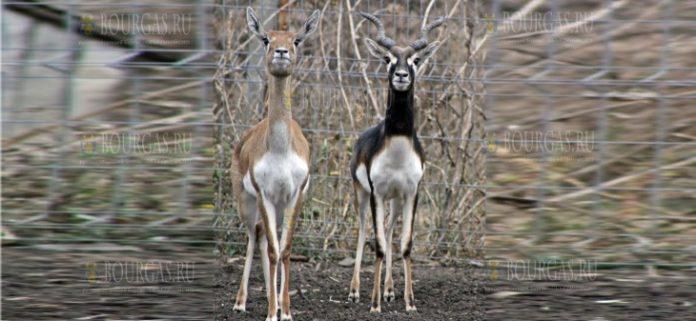 в зоопарке Бургаса появились новые обитатели и это пара антилоп Гарна