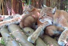 В зоопарке Софии родились маленькие рысята